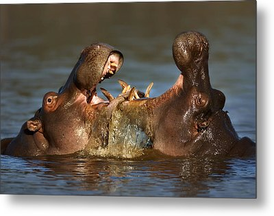 Fighting Hippo's Metal Print by Johan Swanepoel