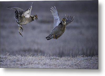 Fighting Prairie Chickens Metal Print