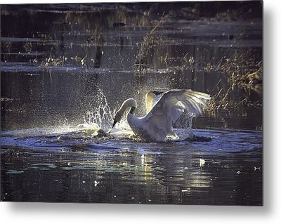 Fighting Swans Boxley Mill Pond Metal Print