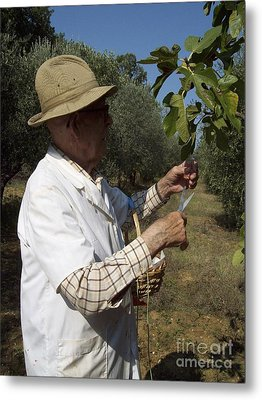 Fig's Harvest In Loppiano Metal Print