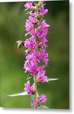 Final Approach - Bee On Purple Loosestrife Metal Print