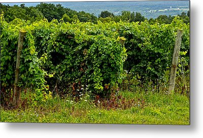 Finger Lakes Vineyard Metal Print by Frozen in Time Fine Art Photography