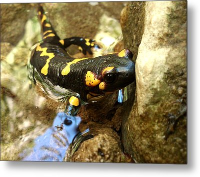 Metal Print featuring the photograph Fire Salamander  by Lucy D