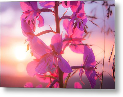 Fireweed At Sunset Metal Print by Roger Clifford