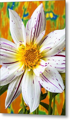 Fireworks Dahlia White And Pink Metal Print by Garry Gay