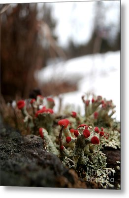 First Lichen Blossom Of The Year Metal Print by Steven Valkenberg