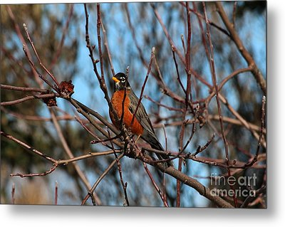 First Robin Of 2013 Metal Print by Marjorie Imbeau