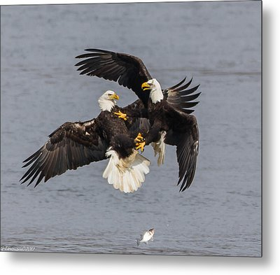 Fish Fight  Metal Print by Glenn Lawrence