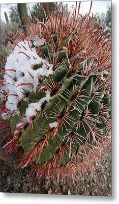 Fish Hook Barrel Cactus With Snow Metal Print by Susan  Degginger