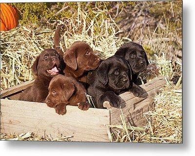 Five Labrador Retriever Puppies Metal Print by Zandria Muench Beraldo