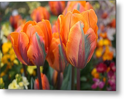 Flaming Tulips Metal Print by Gerry Bates