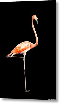 Metal Print featuring the photograph Flamingo On Black by Avian Resources