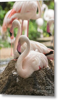 Flamingo Rest On Ground Metal Print by Tosporn Preede