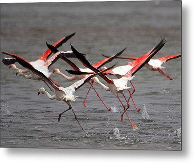 Metal Print featuring the photograph Flamingoes In Flight by Dennis Cox WorldViews