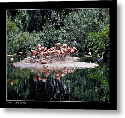 Metal Print featuring the photograph Flamingos Colony by Pedro L Gili