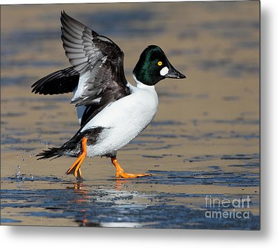 Flap Of A Goldeneye Metal Print by Ruth Jolly