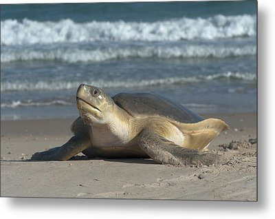 Flatback Turtle Coming Ashore To Nest Metal Print by D. Parer & E. Parer-Cook