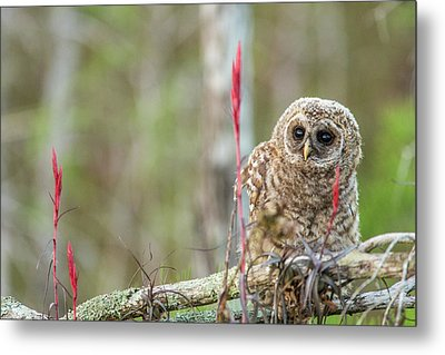 Fledgling Barred Owl (strix Varia Metal Print by Chuck Haney