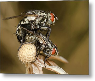 Flesh-flies Mating Metal Print
