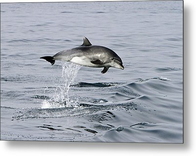 Flight Of The Dolphin Metal Print by Shoal Hollingsworth