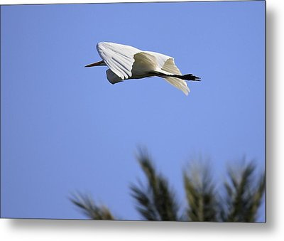 Metal Print featuring the photograph Flight Of The Egret by Penny Meyers