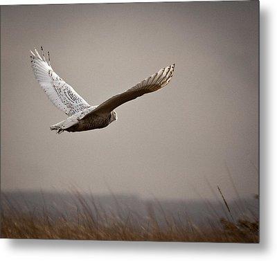 Flight Of The Snowy Owl Metal Print by Erin Kohlenberg