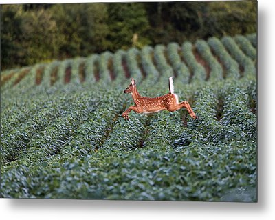 Flight Of The White-tailed Deer Metal Print by Everet Regal
