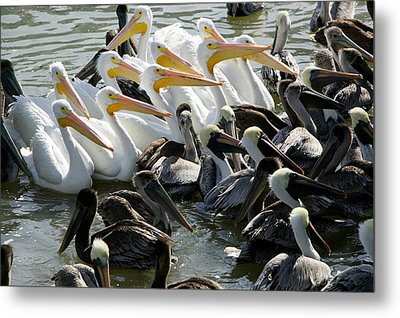 Flock Of Pelicans In Water, Galveston Metal Print