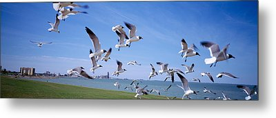 Flock Of Seagulls Flying On The Beach Metal Print