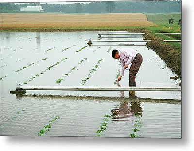 Flooded Soybean Crop Metal Print by Ann Houser/us Department Of Agriculture
