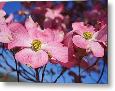 Floral Art Print Pink Dogwood Tree Flowers Metal Print by Baslee Troutman