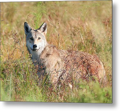 Florida Coyote In A Field Metal Print