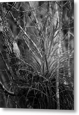 Florida Everglades Metal Print by Joseph G Holland