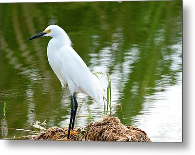 Florida, Immokalee, Snowy Egret Hunting Metal Print