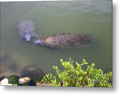 Florida Manatee Pair Metal Print