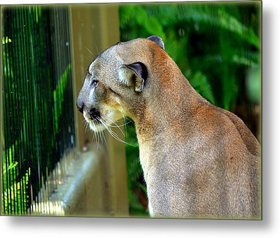 Florida Panther Metal Print by Amanda Vouglas