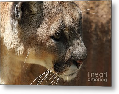 Metal Print featuring the photograph Florida Panther by Meg Rousher