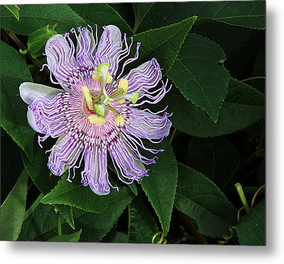 Florida Passion Flower Metal Print