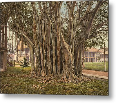 Florida Rubber Tree, C1900 Metal Print by Granger