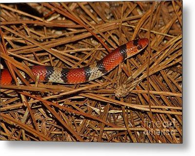 Florida Scarlet Snake Metal Print by Lynda Dawson-Youngclaus