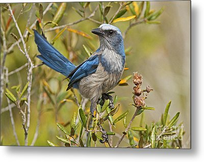 Florida Scrub Jay Metal Print by Jennifer Zelik