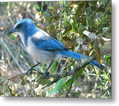 Florida Scrub Jay Metal Print by Peg Urban