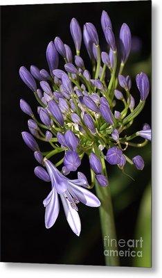 Flower- Agapanthus-blue-buds-one-flower Metal Print by Joy Watson