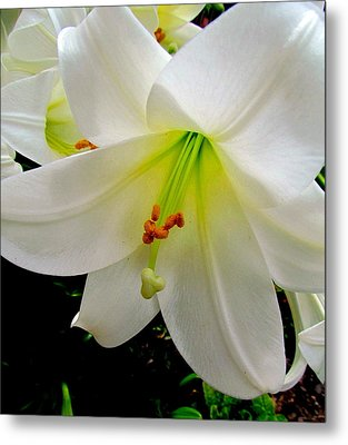 Flower Christmas Lily. Metal Print by Joyce Woodhouse