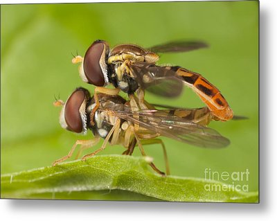 Flower Flies Mating Metal Print by Clarence Holmes