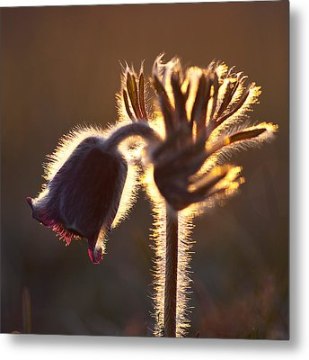 Flower In Back Light Metal Print