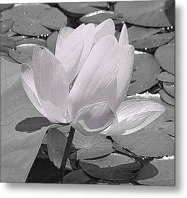 Flower Lilly Pad Metal Print by Steve Archbold