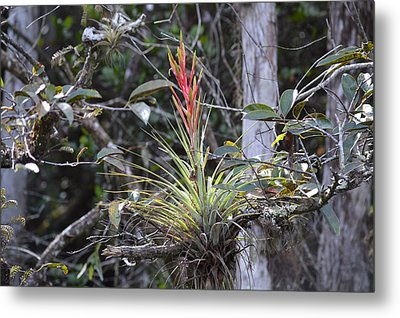 Flowering Everglades Air Plant Epiphyte Bromeliad Metal Print
