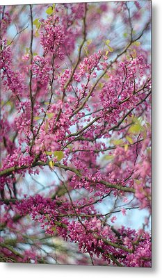 Metal Print featuring the photograph Flowering Redbud Tree by Suzanne Powers