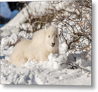 Fluffy Kid On The Mountain Metal Print by Yeates Photography